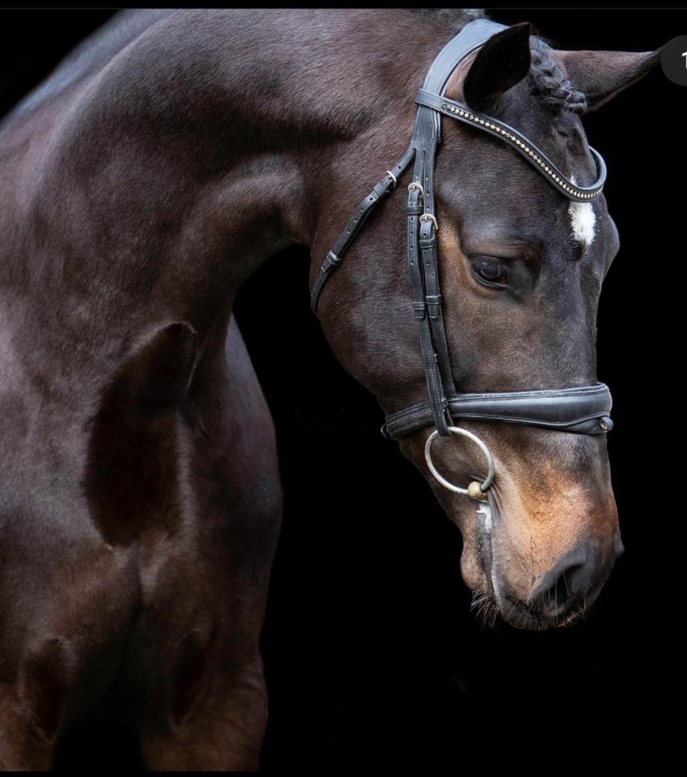 Dekhengst stallion brouwershoeve
